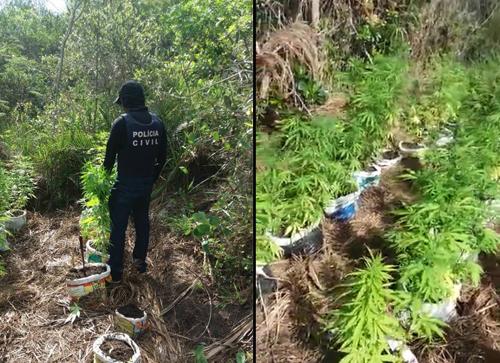 Plantação de maconha é erradicada em ação da Polícia Civil de Ibicoara e Barra da Estiva