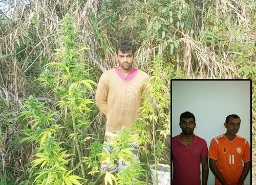 Irmãos que cultivavam Maconha são presos na operação