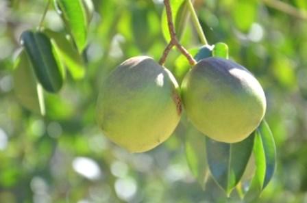 Fazenda Experimental produz umbu gigante com até 150 gramas