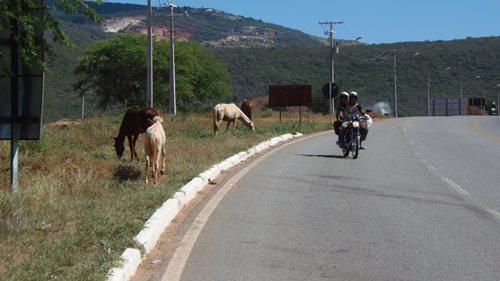 Perigo constante: Animais continuam soltos às margens das rodovias