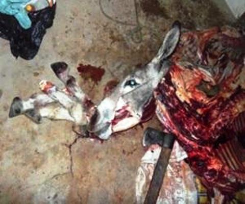 Polícia fecha abatedouro que vendia carne de jumento em vez de carne de gado