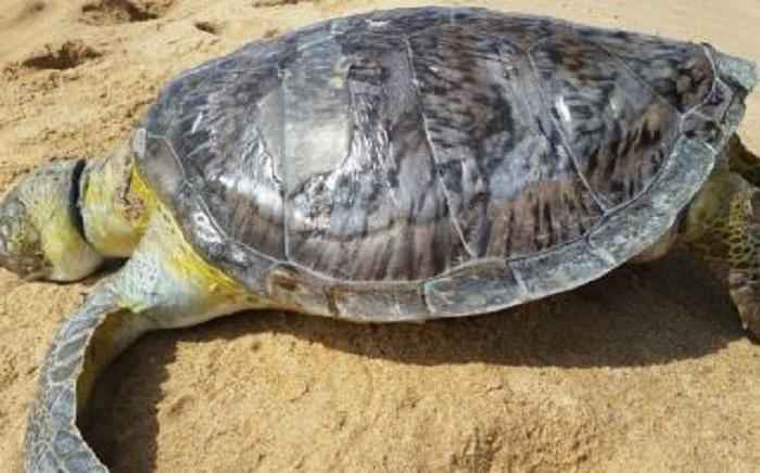Tartarugas são encontradas mortas em praias baianas