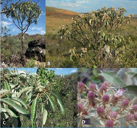 Nova espécie de Planta é encontrada em Licinio de Almeida e publicada em revista americana