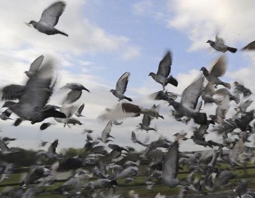 Duas mil aves são soltas em mais uma etapa da corrida nacional de pombos-correios