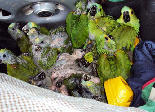 Polícia Rodoviária apreende feirante de Maetinga com filhotes de Periquitos