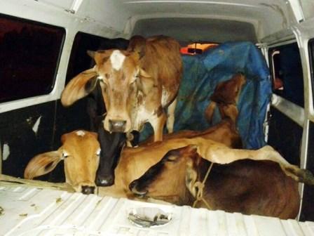 Juiz de Fora: Kombi clonada é recuperada em Juiz de Fora com cinco bovinos