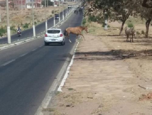 Superintendência de Trânsito captura animais soltos em Guanambi