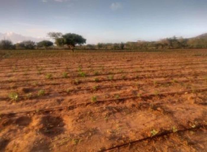 Santa Brígida: Plantação com 50 mil pés de maconha é encontrada e 2 são presos
