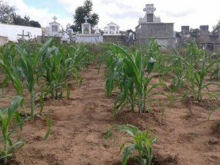 Ribeira do Pombal: Morador planta milho e batata dentro de cemitério em zona rural