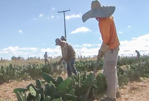 Presos trabalham em plantação de palma em Conquista para reduzir pena