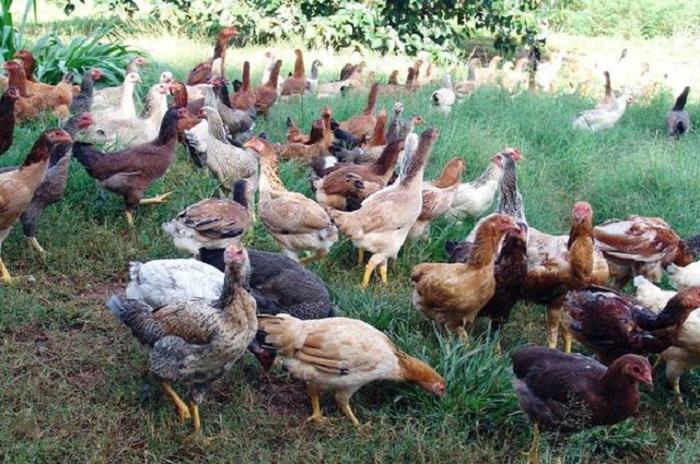 Guajeru: Secretaria de Agricultura promove curso de criação de galinha caipira