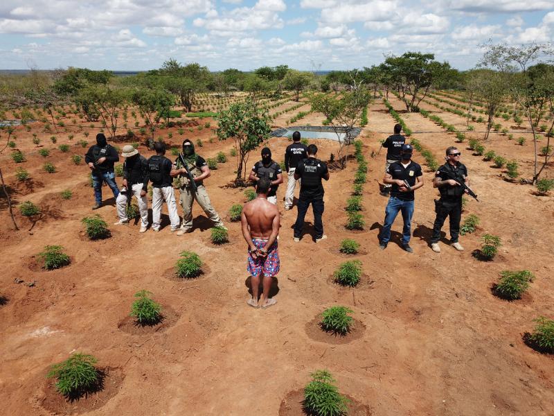 Polícia Civil da Bahia erradica plantação de maconha avaliada em R$ 32 milhões; plantação renderia 16 toneladas da droga