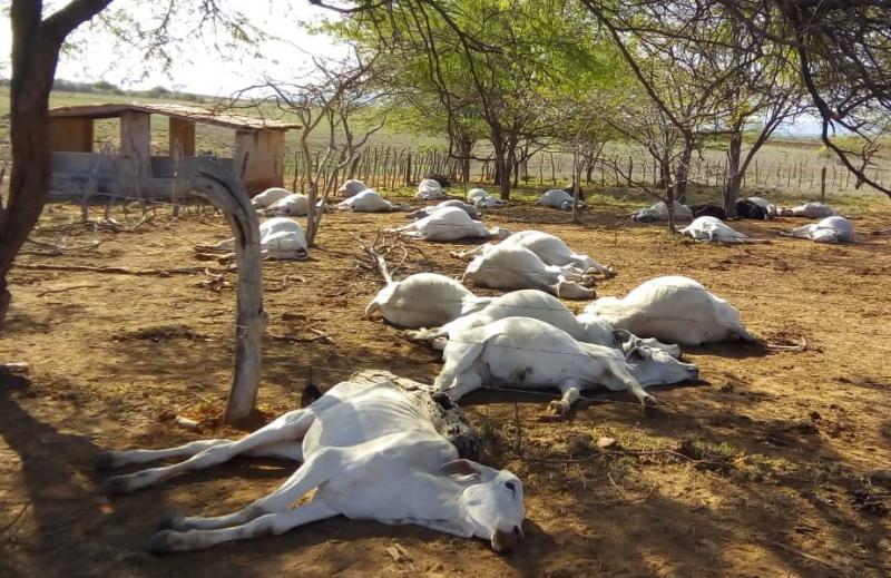 Mais de 70 cabeças de gado morrem de forma misteriosa em fazenda de Tanhaçu; ADAB investiga o caso