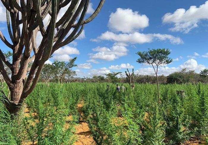Plantação com 120 mil pés de maconha é localizada durante operação na Bahia