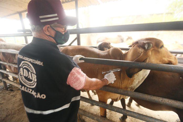 Segunda etapa da vacinação contra a febre aftosa na Bahia vai até o dia 30 de novembro