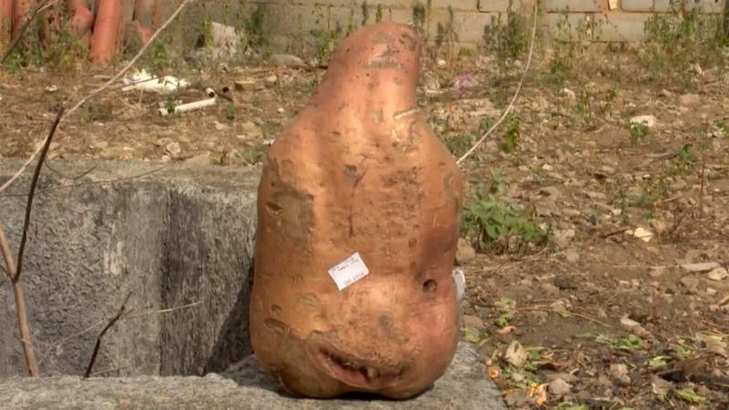 Morador de Vitória da Conquista colhe batata doce 'gigante' no quintal de casa