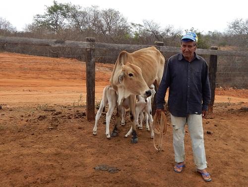 Vaca surpreende ao parir dois bezerros na Zona Rural de Maetinga