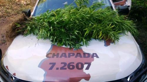 Mais uma roça de maconha é descoberta pela polícia na Chapada Diamantina