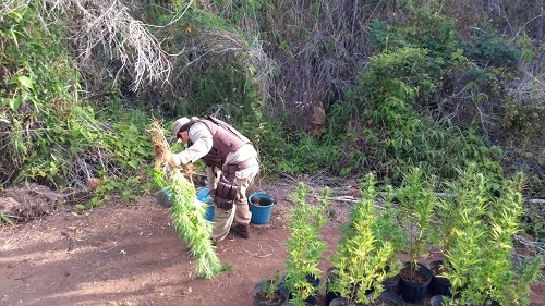Ibicoara: Polícia descobre plantação de maconha na Zona Rural; três pessoas foram detidas