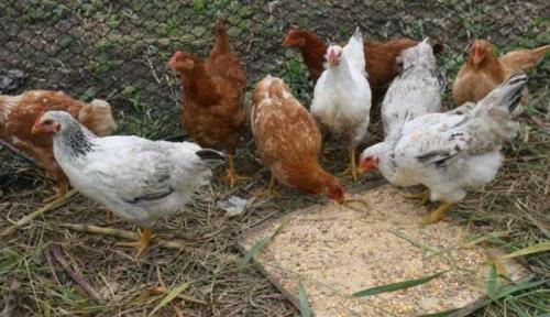 Em Aracatu homem é preso após furtar galinhas para comer com os amigos