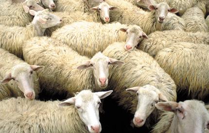 Ovelhas são furtadas na zona rural de Brumado durante a madrugada
