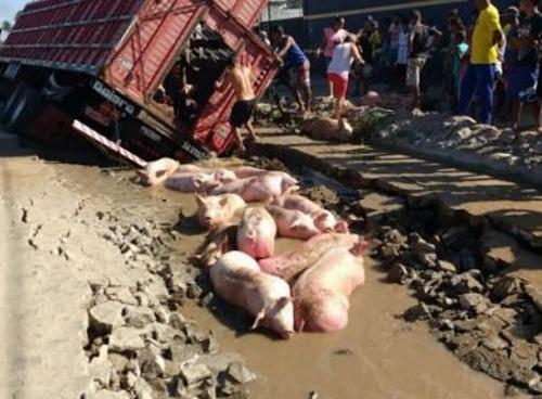 Feira: Acidente provoca morte de porcos após caminhão afundar em calçamento